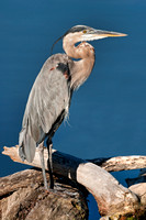 Great Blue Heron, heron, bird, wading, shore, egret