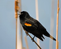 Male, Red Winged,  Black Bird