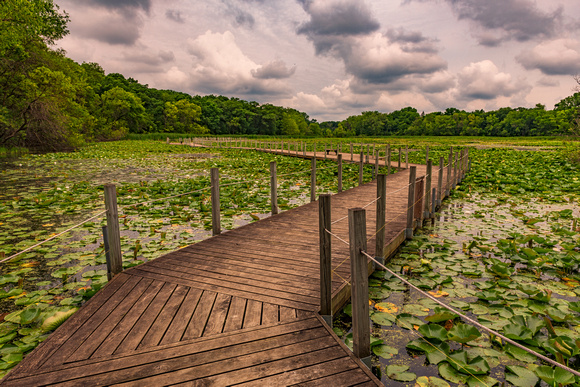 boardwalk, lily pad, water, lily, lilies, pond, lake, maplewood, nature center