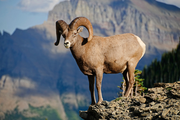 """big horn sheep"", big, horn, ram, sheep, glacier, national, park"