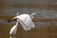 great egret, great, egret, heron, white, flight, wading, bird